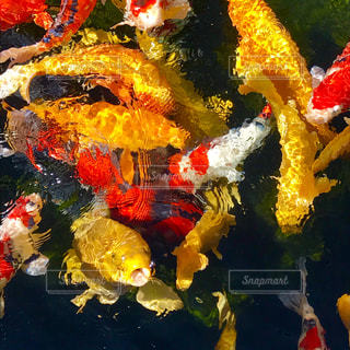 鯉踊りの写真・画像素材[863447]