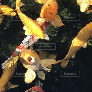 鯉の写真・画像素材[866306]