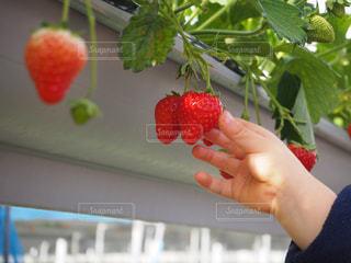 果物を持っている手 - No.951615