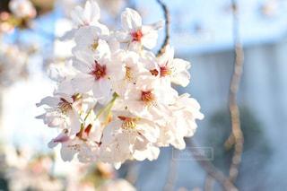 桜の写真・画像素材[3201718]