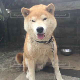 柴犬 - No.864461
