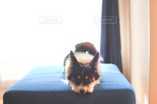 ソファの上にいる犬の写真・画像素材[865031]