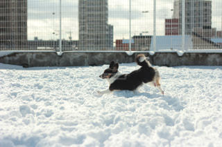 雪の中を駆け回る犬の写真・画像素材[865342]