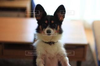 部屋の中の犬の写真・画像素材[865345]