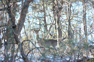 高原の鹿の写真・画像素材[865580]