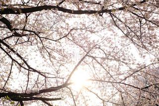 桜と夕日の写真・画像素材[1106344]
