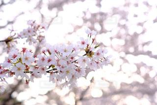 桜の写真・画像素材[1106345]