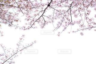 桜の写真・画像素材[1106346]
