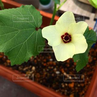 オクラの花の写真・画像素材[865052]