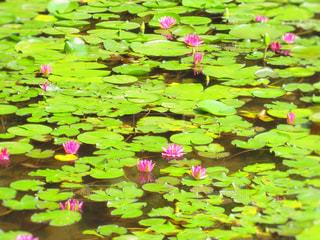 京都、平安神宮の睡蓮の写真・画像素材[1125278]