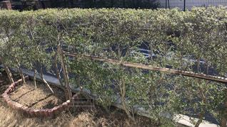 垣根の植木の写真・画像素材[1035680]