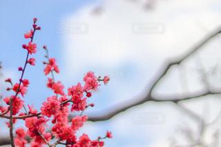 梅の花の写真・画像素材[1020680]