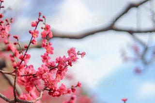 梅の花の写真・画像素材[1020682]