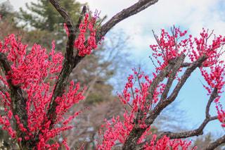 梅の花の写真・画像素材[1020683]