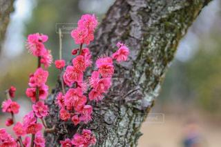 梅の花の写真・画像素材[1020890]