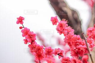 梅の花の写真・画像素材[1020900]