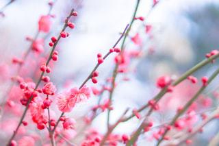 梅の花の写真・画像素材[1020901]