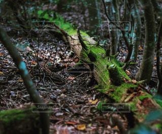 フォレスト内のツリーの写真・画像素材[870248]