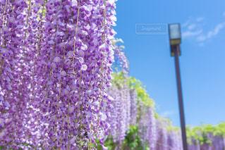 植物の紫色の花の写真・画像素材[870252]
