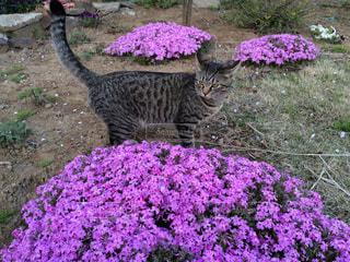 紫の花と猫の写真・画像素材[866685]