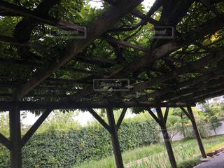 愛媛県の天赦園にある藤棚の写真・画像素材[867214]