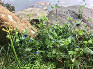 池のほとりの青い花の写真・画像素材[867281]