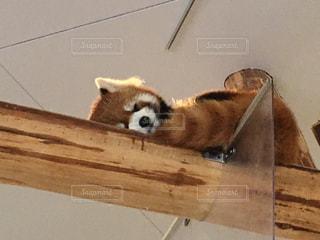 木製の上に横たわるレッサーパンダの写真・画像素材[867385]