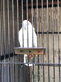 檻の中の白いインコ - No.920346