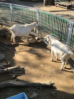 檻の中の白いヤギの写真・画像素材[920347]