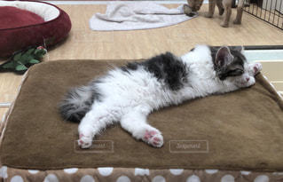 肉球を見せてコタツの上に寝そべる猫の写真・画像素材[981837]