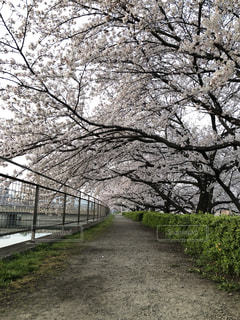 桜並木のトンネルの写真・画像素材[1088842]