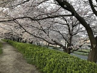桜の並木道(2)の写真・画像素材[1088844]