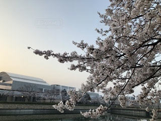 早朝の空に映える桜の花の写真・画像素材[1088845]
