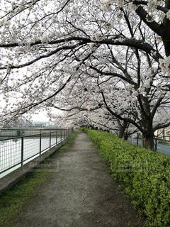 桜の並木道の写真・画像素材[1088846]