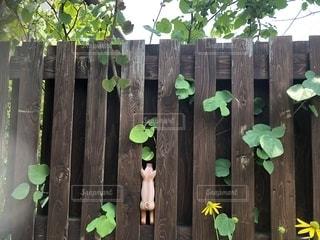 木の柵に挟まれた豚の人形の写真・画像素材[2778184]