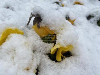 雪に埋もれる黄色のパンジーの写真・画像素材[4073103]