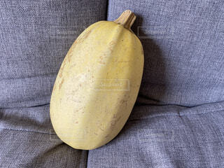 ソファの上に鎮座するそうめんかぼちゃの写真・画像素材[4774605]