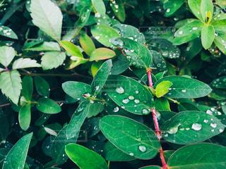 緑の葉の写真・画像素材[870359]