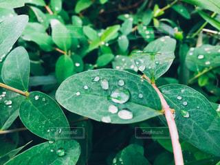 雨上がりの水滴と植物の写真・画像素材[870366]