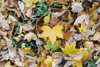 落ち葉の写真・画像素材[915388]