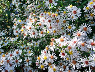 マーガレットの花壇の写真・画像素材[869232]