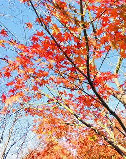 もみじと青い空の写真・画像素材[870656]