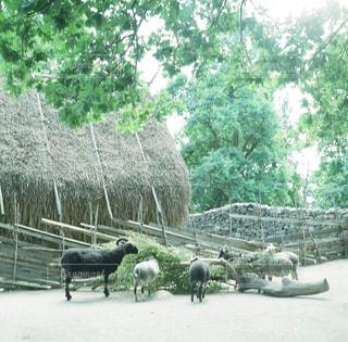 フェンスの横に立ってを羊の群れの写真・画像素材[875469]