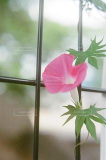 植物にピンクの花の写真・画像素材[876025]