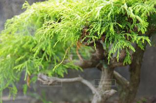盆栽の写真・画像素材[1532618]