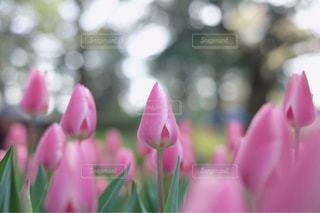 チューリップ畑の写真・画像素材[1000078]