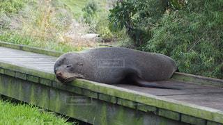 昼寝するアシカの写真・画像素材[868259]