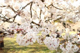 桜の写真・画像素材[2102334]