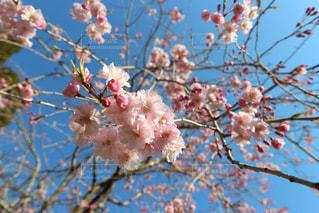木の枝の上のピンクの花のグループの写真・画像素材[2102337]