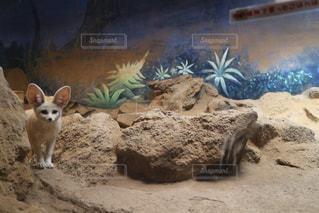 岩の上に立っているフェネックの写真・画像素材[2102434]